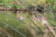 Family of ducks on the lake, jpg, 39.6 KB